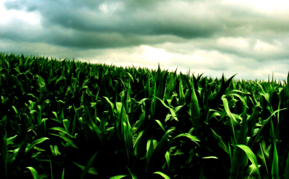 Corn Farm Wallpaper 63361  WEBNODE