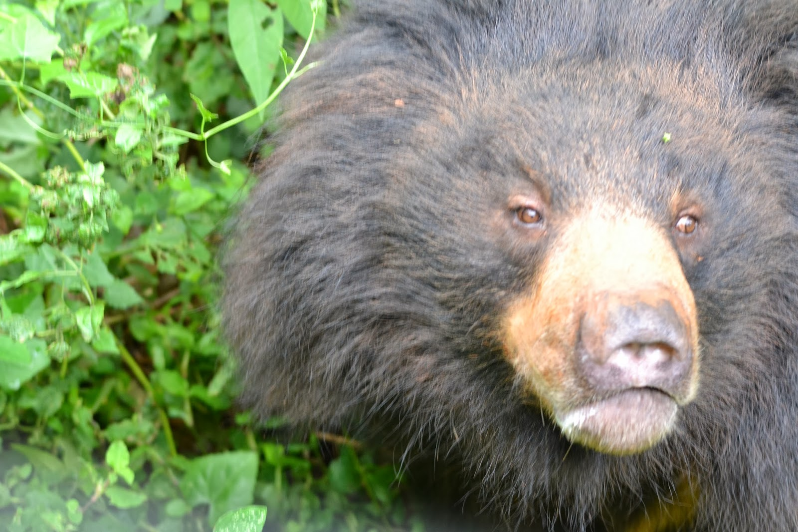 Bear at nandankanan zoological park