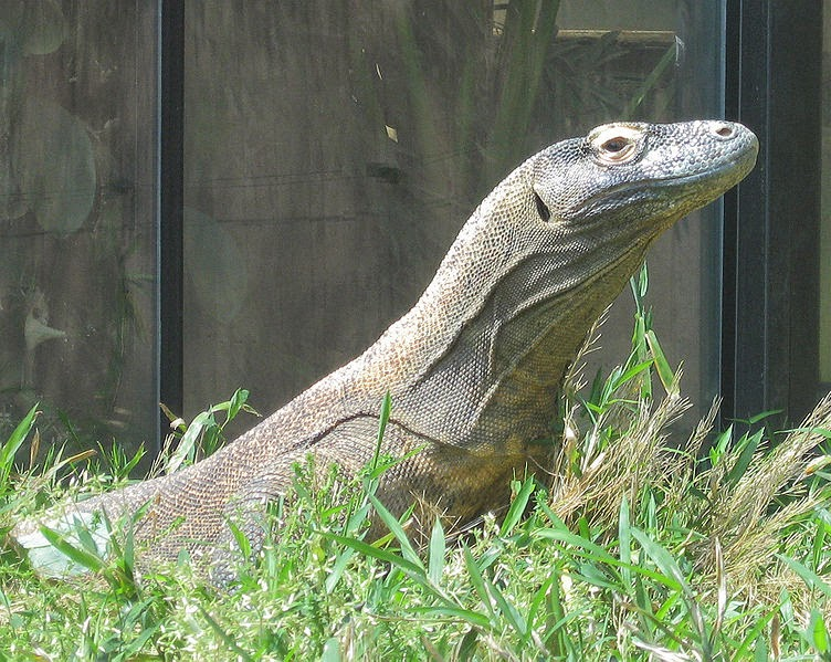 Image showing the large ear holes of the komodo dragon
