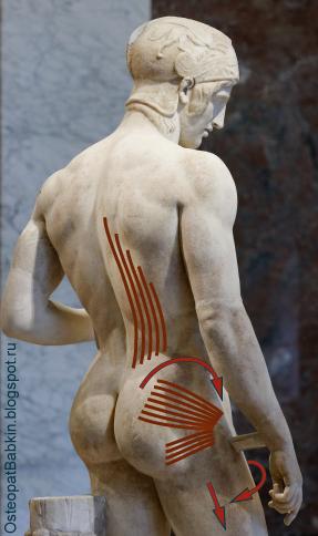 Биомеханика адаптация шаговой ноги мышцей, выпрямляющей позвоночник, грушевидной мышцей (musculus piriformis)