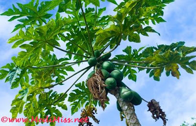 Papaya leaves can cure dengue