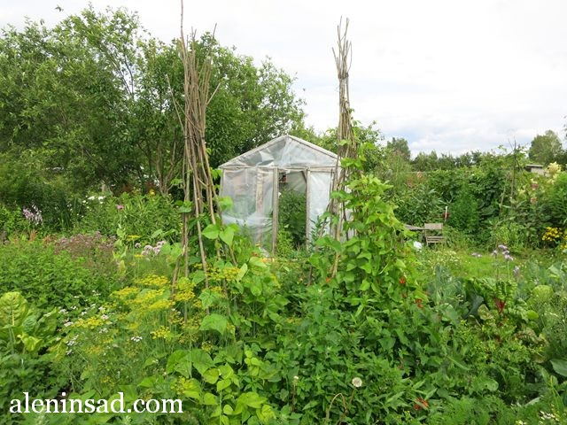 аленин сад, конец июля, без ухода, огород,