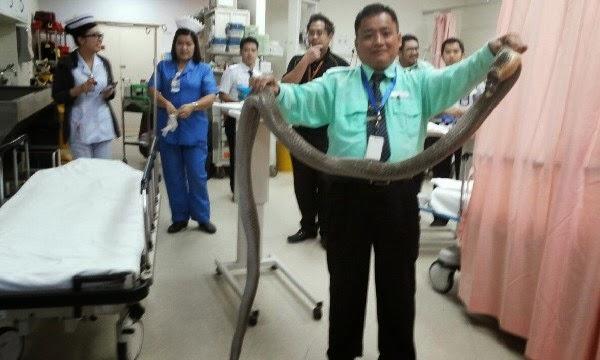 GEMPAR Ular Tedung Cetus Kekecohan Di Hospital Tuaran