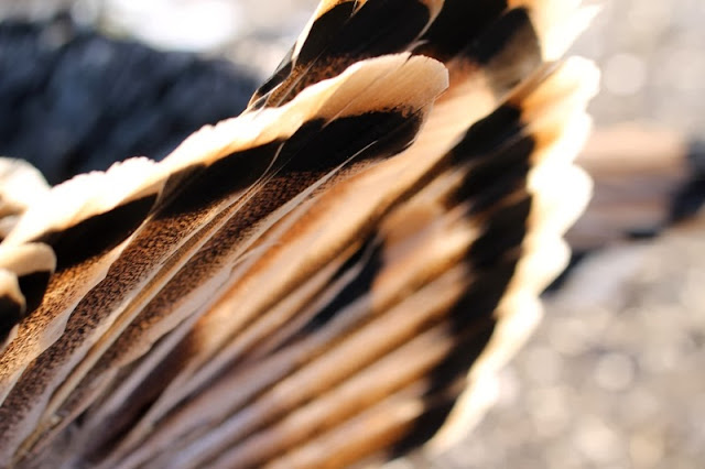 Sweetgrass turkey tail feathers