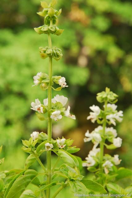 Basilikum Blüten