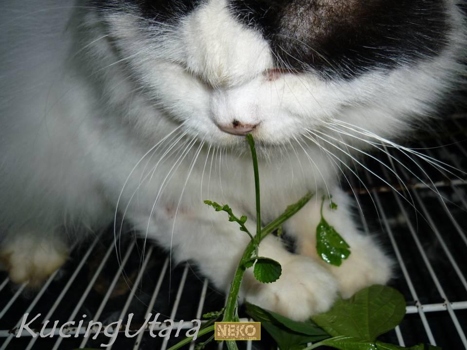 Kucing Utara Pokok Kucing Galak Amp Kucing