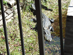 My friend Ollie Gator.  He was right outside the door of the visitor center.  Yikes!
