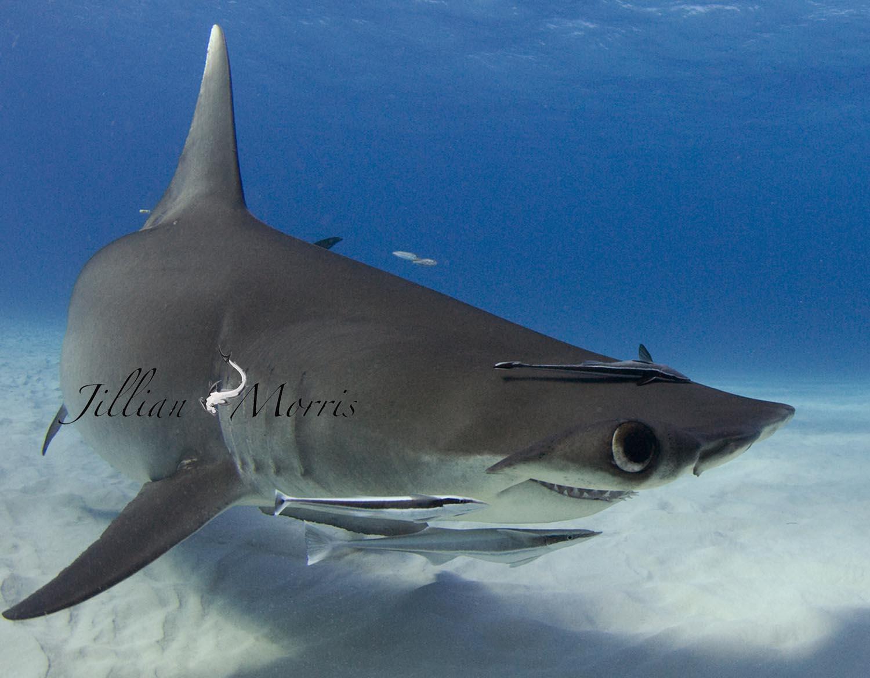 the adventures of shark alyssa says