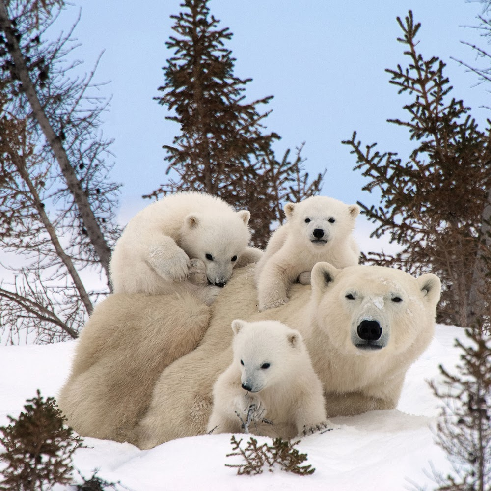 Incredibly Cute Polar Bear Triplets Frolic In Canada (Photos)