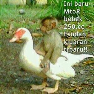 gambar monyet naik bebek