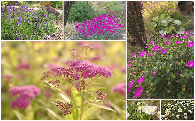 lavender, dwarf dianthus, spirea flowering in July