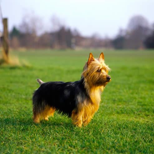 Allthingsinfo Australian Terrier