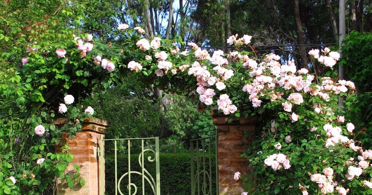 En el jardin tres rosas trepadoras for Jardin 81 treinta y tres