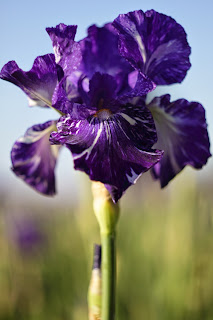 purple iris, A Day in the Life, Photo-A-Day April 2015, Day 29, by Lisa Miller