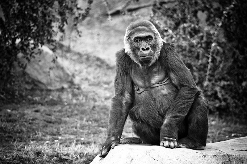 Gorillas photos pictures of gorilla | Animal Photo