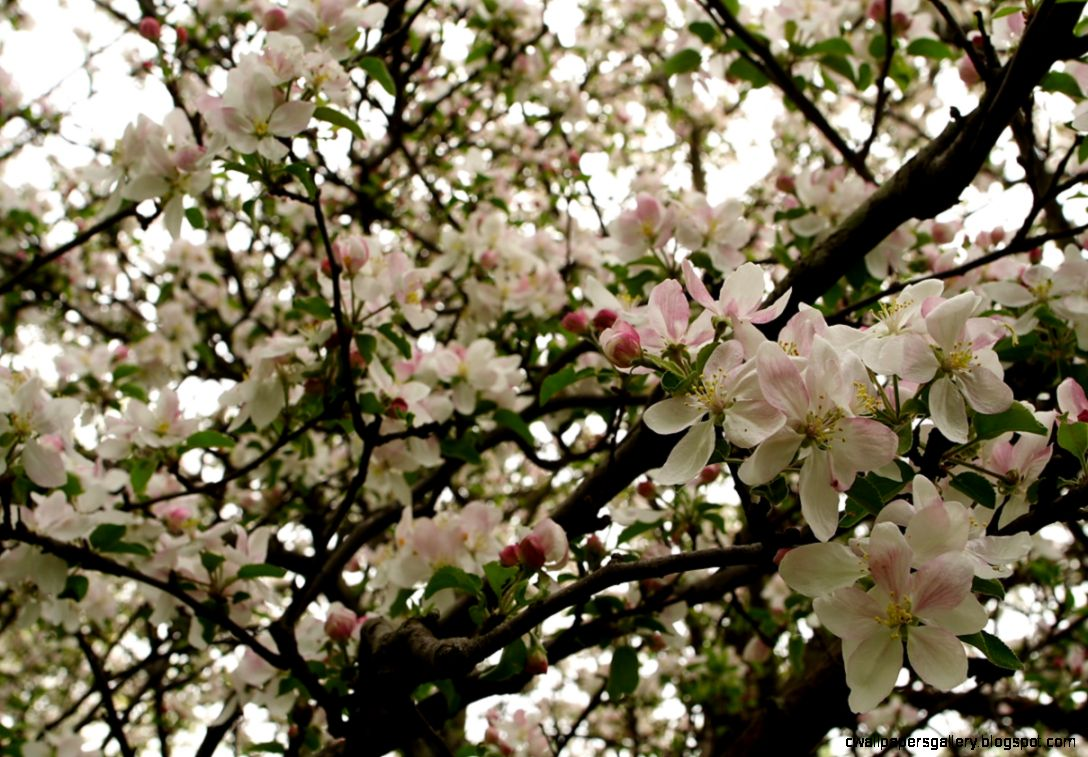 FileApple tree flowers blooms   West Virginia   ForestWander