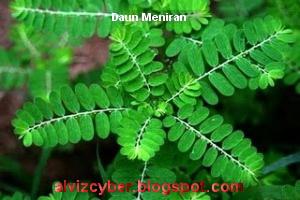 Gambar daun meniran