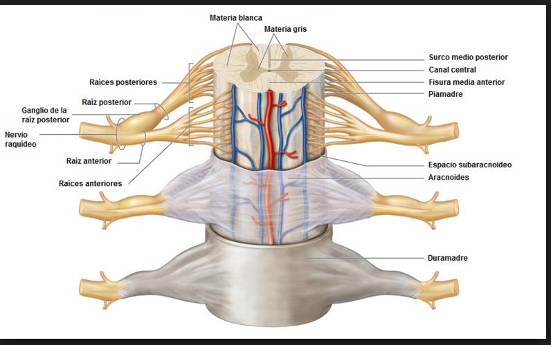 Anatomía Aplicada: medula espinal