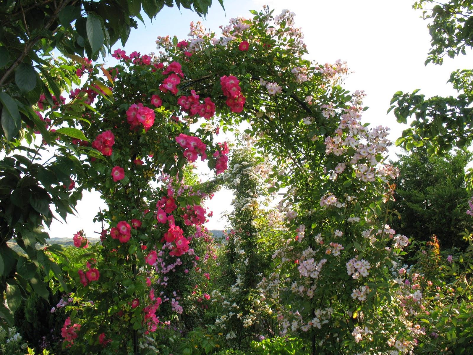 Roses du jardin ch neland deux rosiers lianes ma tris s - Taille rosier liane ...