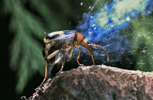 מנפלאות הבריאה החיפושית המפציצה