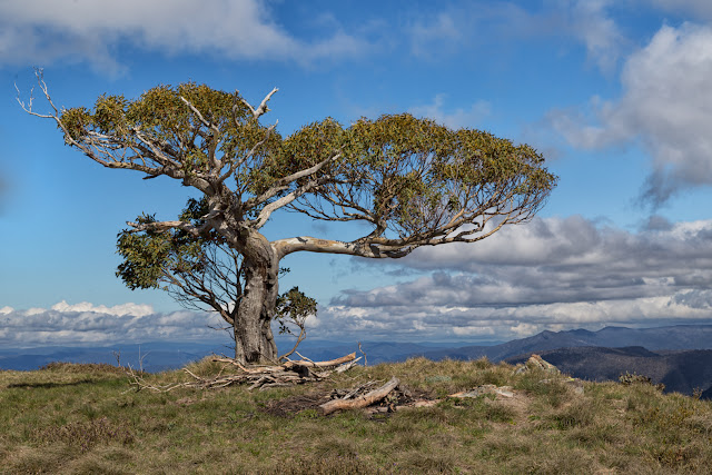 snow gum on mount speculation