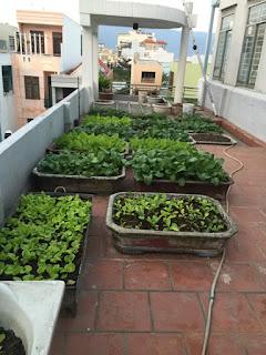 Những vườn rau trên sân thượng đẹp dễ làm