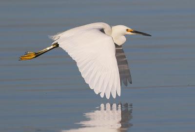 Snowy Egret Bird