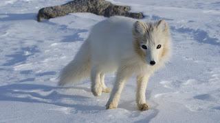 Arctic Fox Vulpes lagopus from Kulusuk Greenland by Algkalv