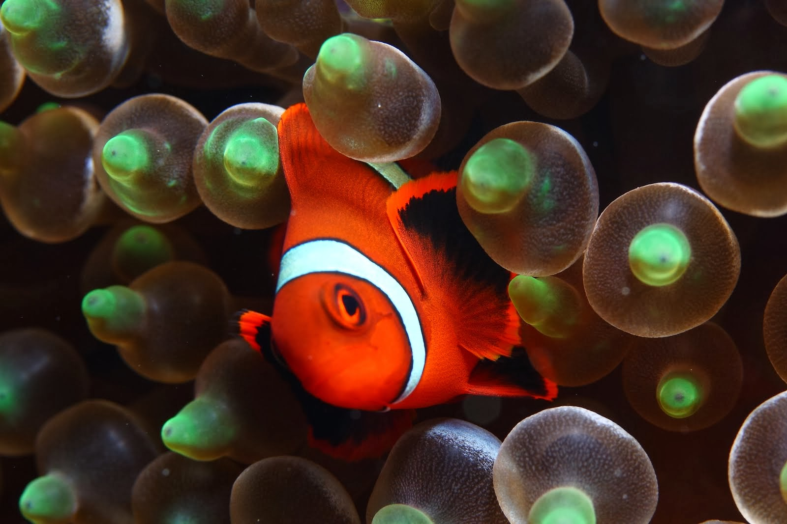 Pez Payaso / Clown fish