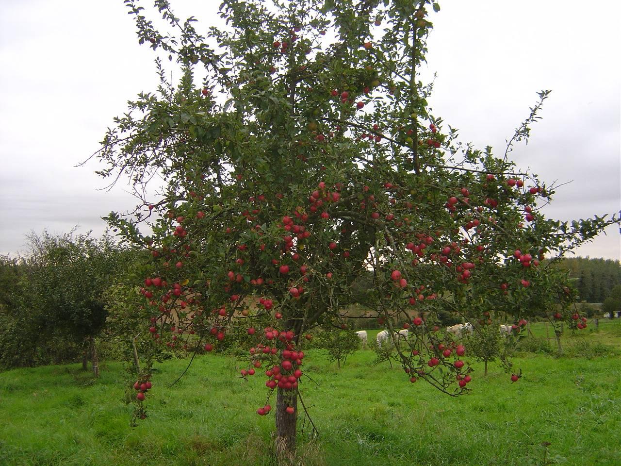 Mon arbre le de vivre le douaire tout savoir sur le pommier malus communis conseils - L arbre le pommier ...