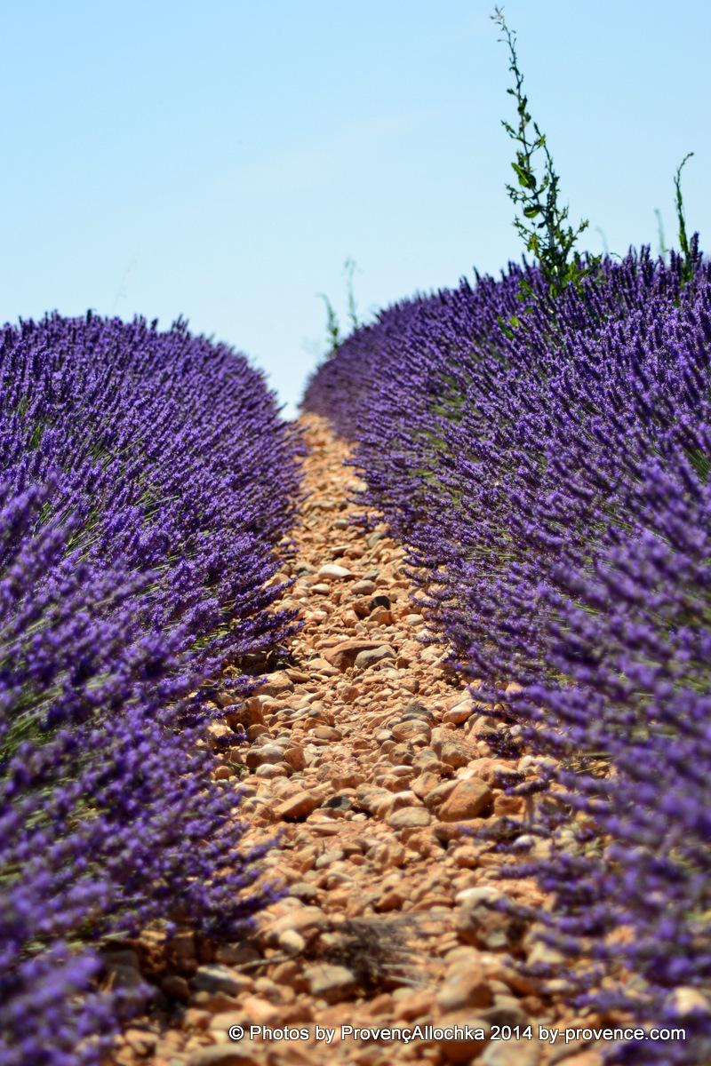 Provence,lavande