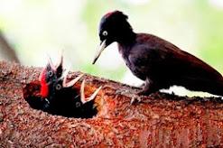 La paloma viajera, extinta en 1914, es la primera elegida para ser resucitada entre 2020 y 2025.