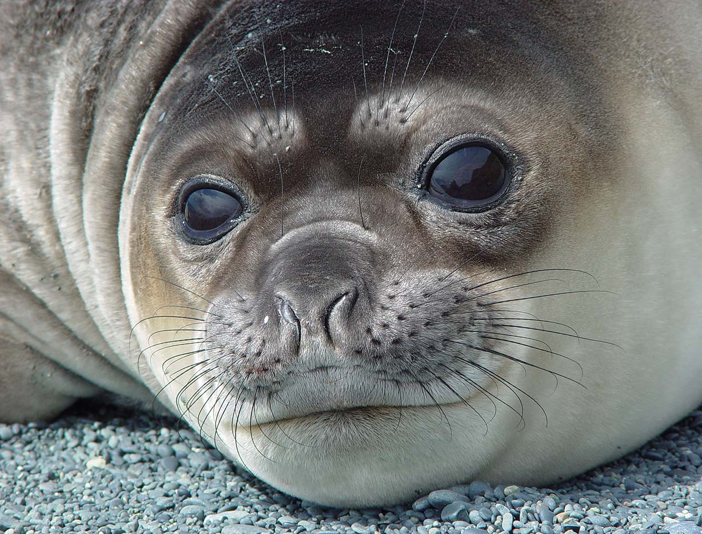 Zoo Animals: Baby Elephant Seals