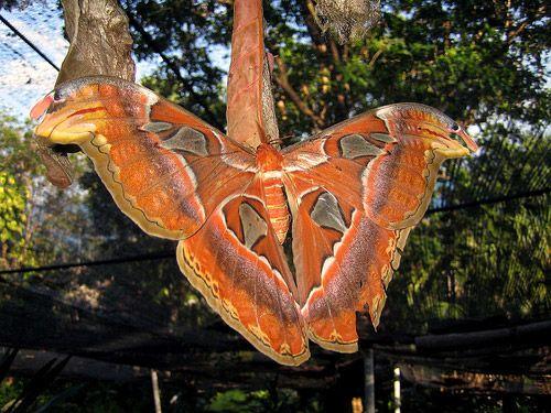 http://3.bp.blogspot.com/-xrEDP4Tfa-8/TljpcCt_CuI/AAAAAAAACmc/YOquNy47K44/s1600/Pavlinoglazka+Atlas+The+Biggest+Butterfly++%25282%2529.jpg