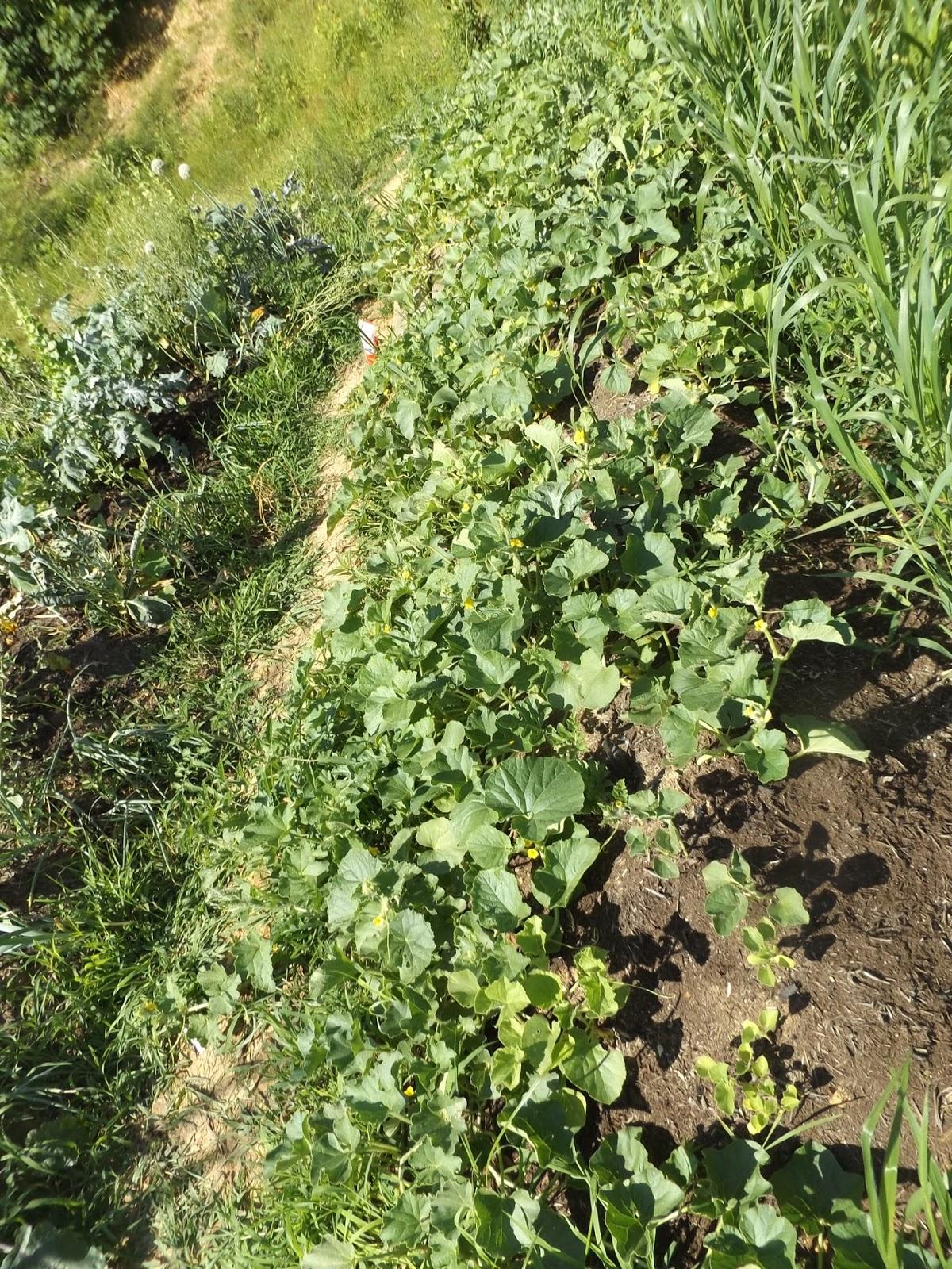 Container Cucumber Trellis Part - 44: Vegans Living Off The Land