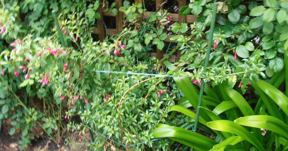 El jard n de la alegr a plantando una fuchsia resistente for Cancion el jardin de la alegria