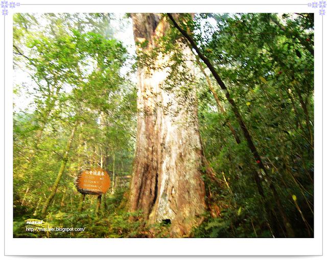北橫拉拉山-二十號巨木