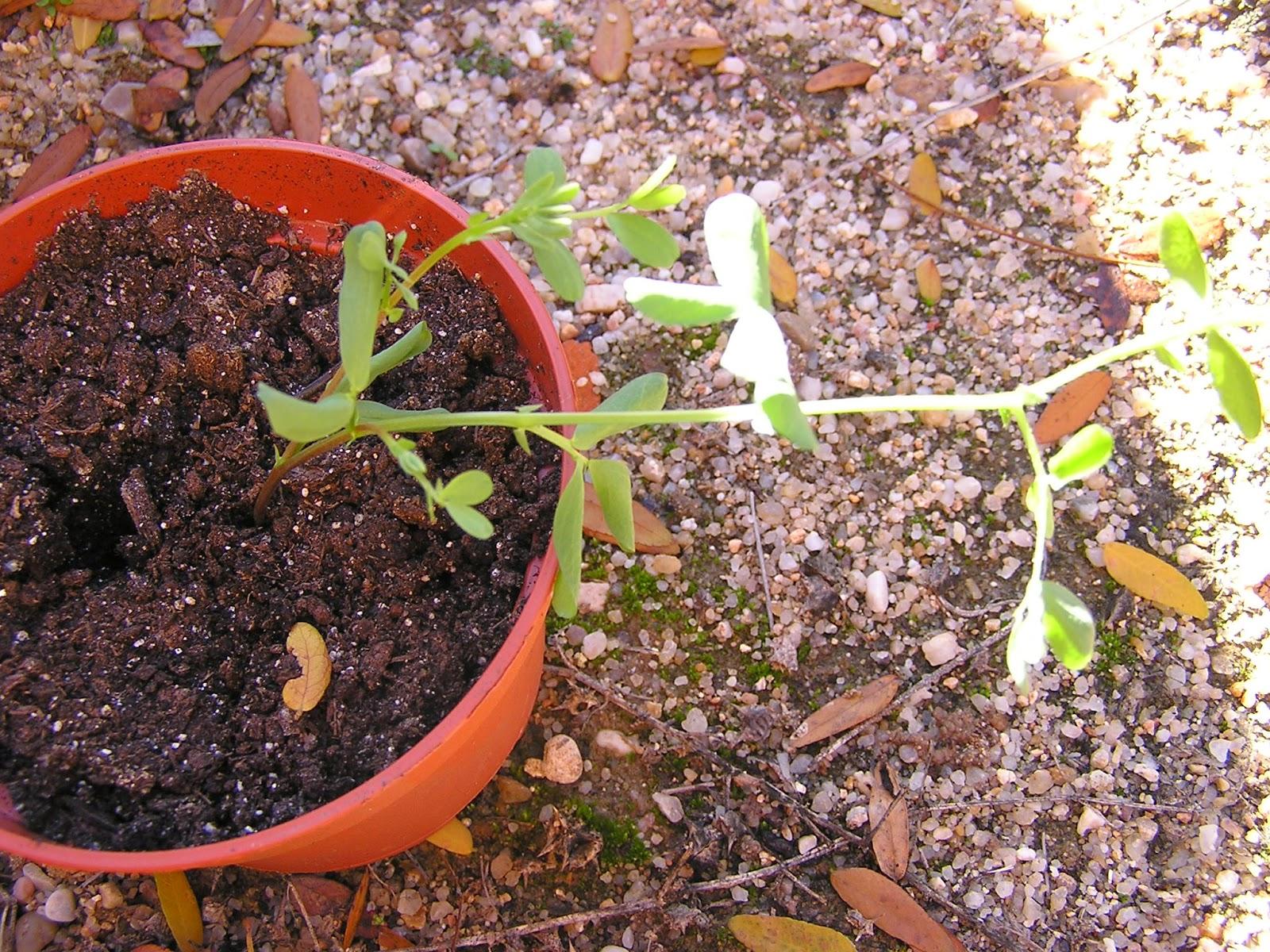 El huerto de mi escuela entutoramos la planta de lenteja - Plantas de huerto ...