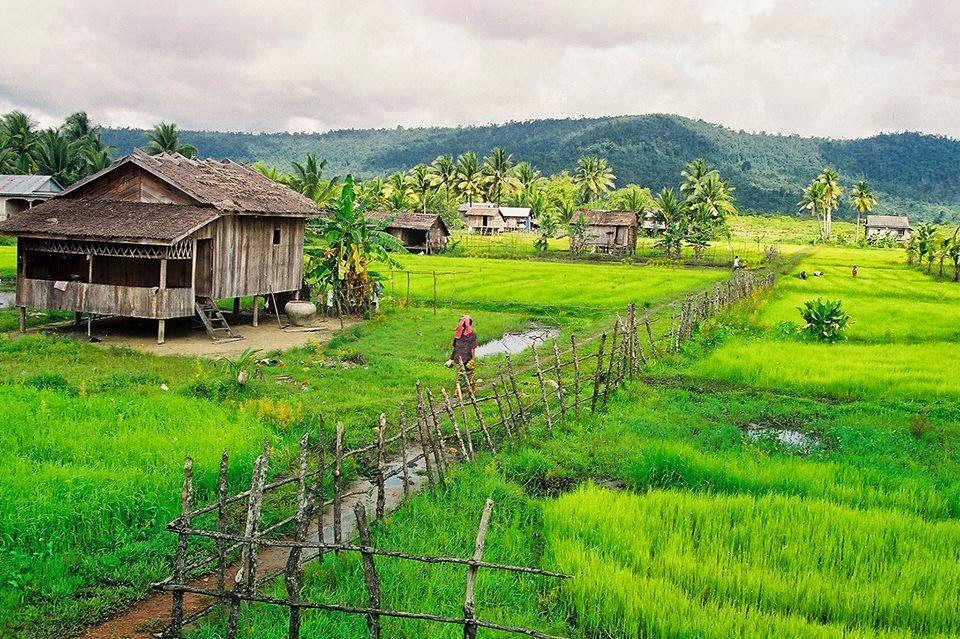 rice crop product yield for local food demand supply