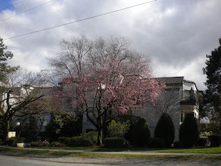 Single pink-blossom tree in beginning stages of bloom against white apartment building and nicely pruned trees