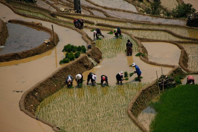 Trabajando en terrazas de arroz junto a Sapa.