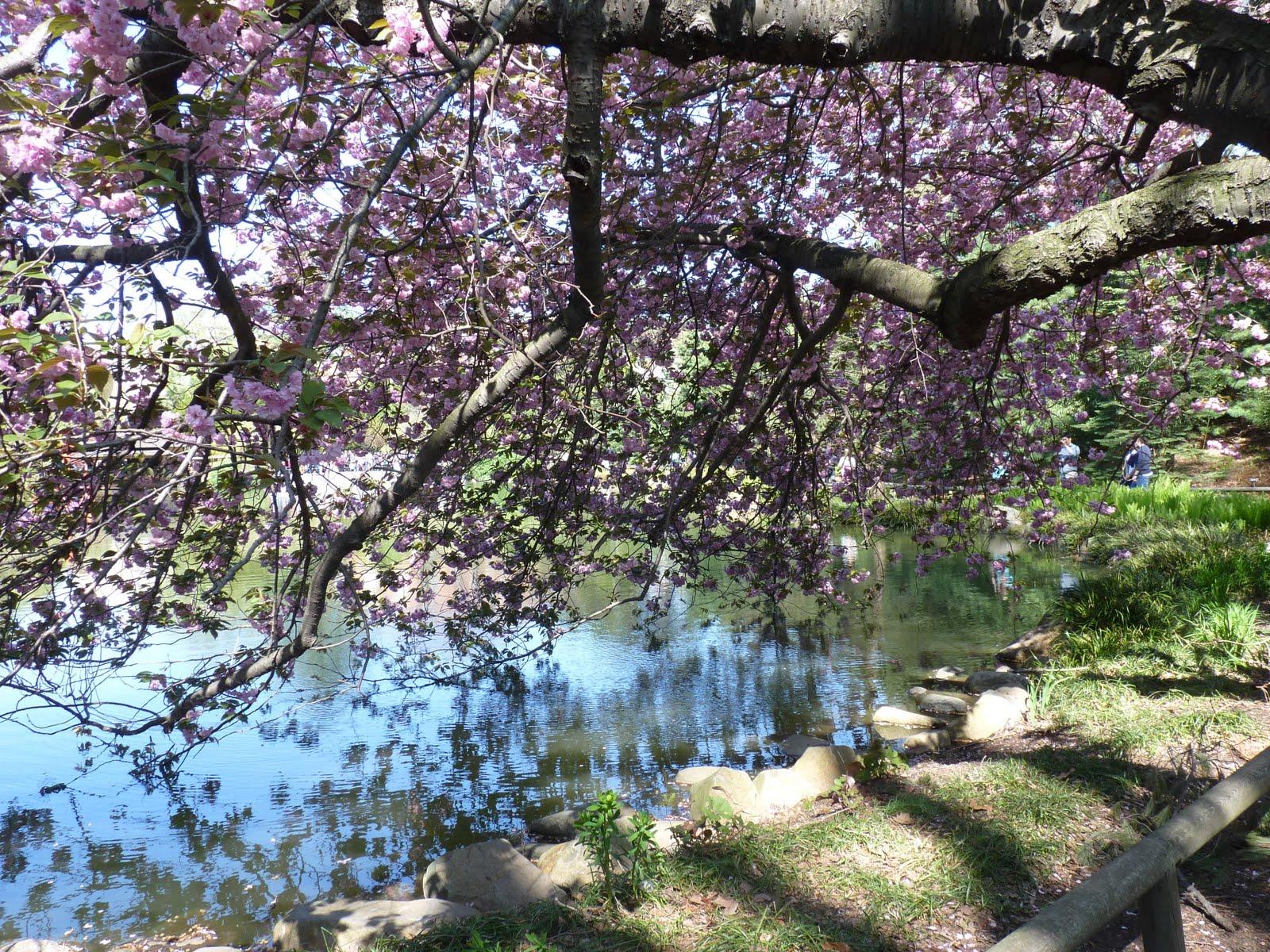 Mcbrooklyn Sakuri Matsuri Cherry Blossoms At Brooklyn Botanic Garden