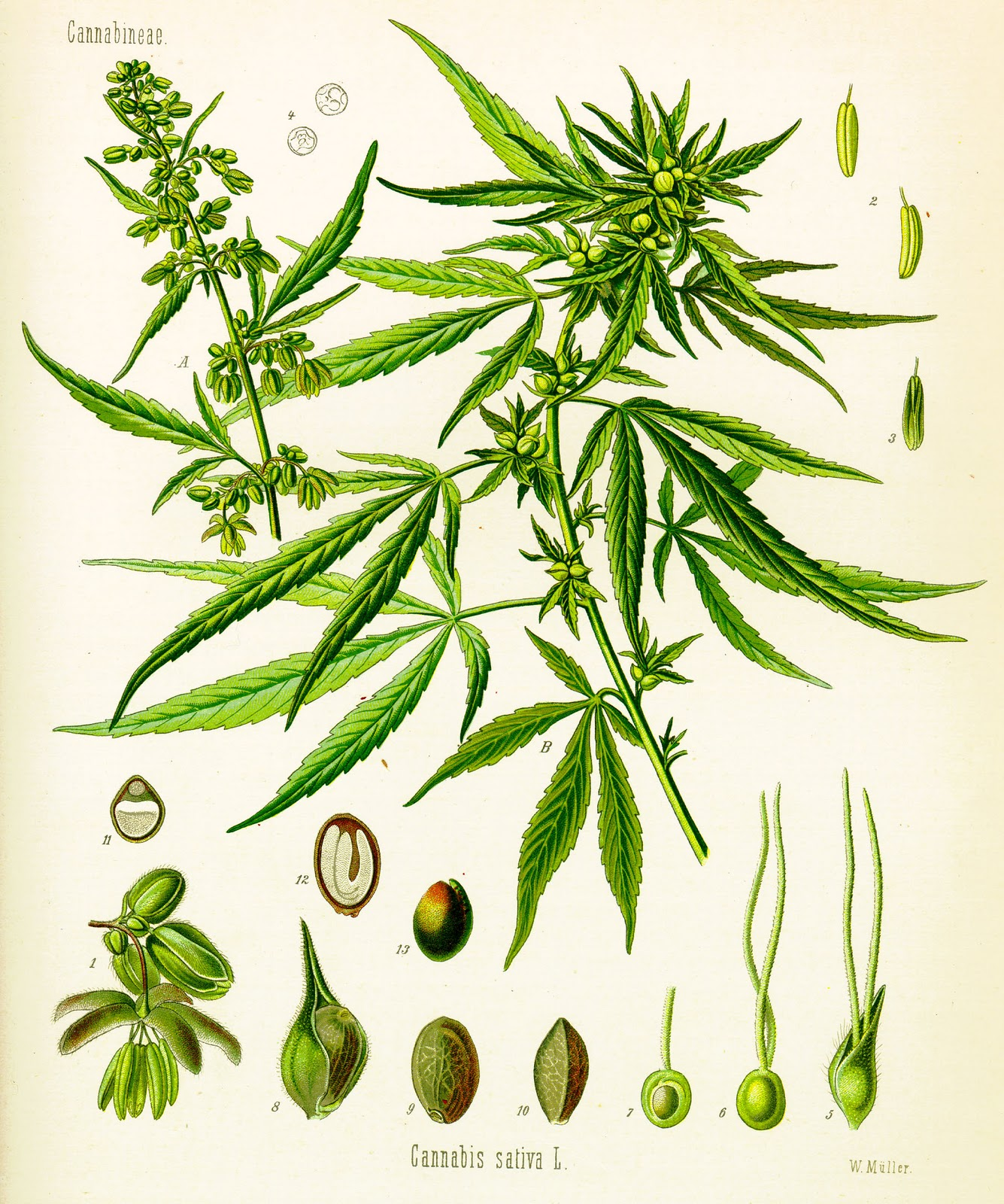 a description of various uses of cannabis sativa in various ways List of popular marijuana strains cultivated by the farm (different types of marijuana, strains of cannabis, marijuana strain names, marijuana descriptions.