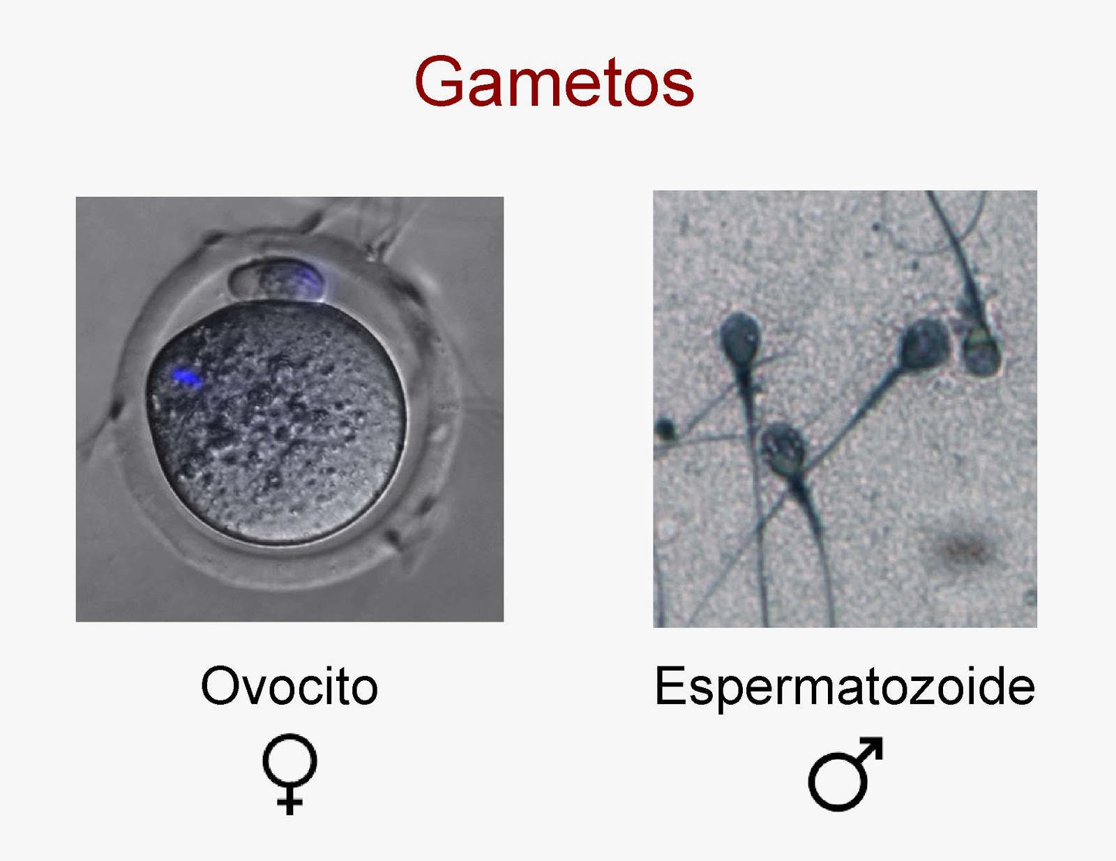 Ovocito y espermatozoide
