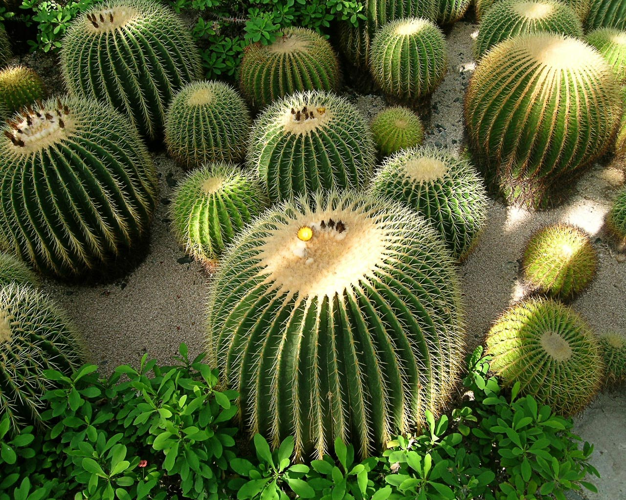 deserts cactus - photo #24