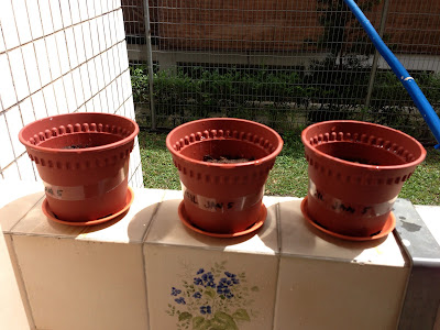 basil herbs