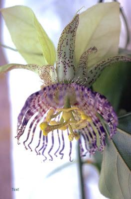 passion vine flower