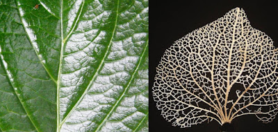 Composite of normal leaf with veins and dried leaf with many veins