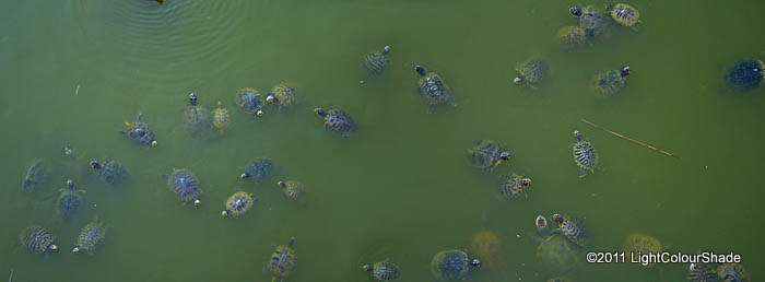 A gathering of red-eared slider turtles (Trachemys scripta elegans) and pond slider turtles