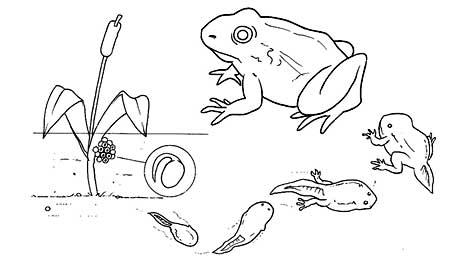 Fun learn free worksheets for kid for Frog life cycle coloring page